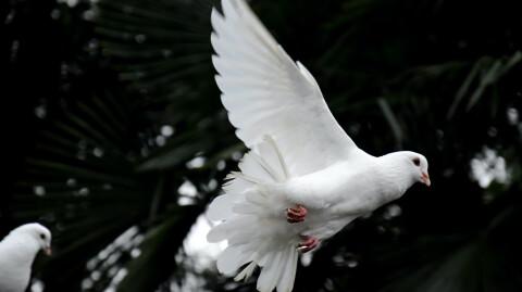 Mamba And The Dove